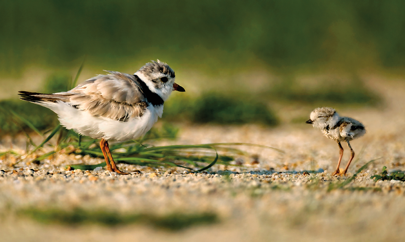 ENDPipingPlover-JayFleming On the Brink - Delaware Beach Life