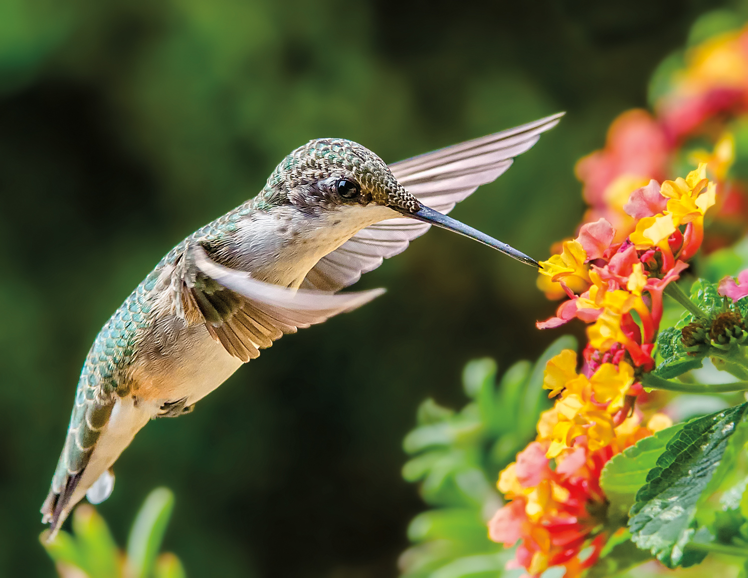 Like her male counterpart, the female ruby-throated hummingbird has glints of blue and green on her back and sides, but her throat is white.