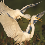 DBL_Snowy_Egret_attacking_Great_Egret_spread-43-150-150-100-c Beauty at the Beach  - Delaware Beach Life