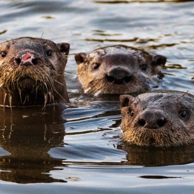 Welcome Back, Otters