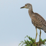 Feature_Burton_Island_Yellow_crowned_Night_heron-41848-150-150-100-c Exploring Burton Island - Delaware Beach Life