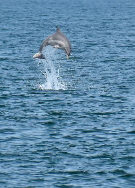 M. Beatty dolphin jumping