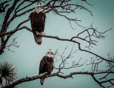 Bald Eagles Reduced