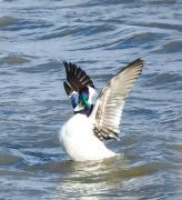 Bufflehead Duck in Bombay Hook Wildlife Reefuge
