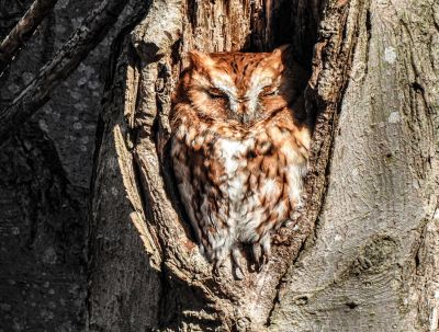 Little sleeping eastern screech owl REDUCED