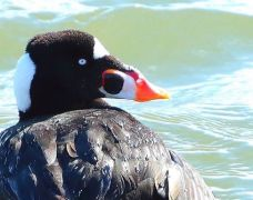 Surf Scoter at Indian River Inlet