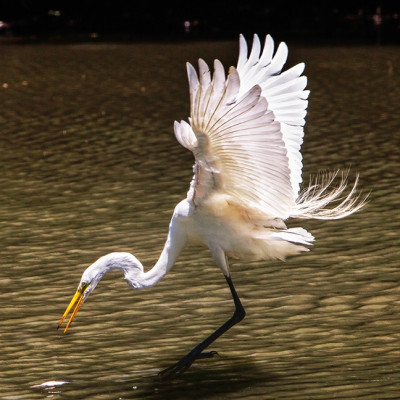 Egret Snatching a Fish