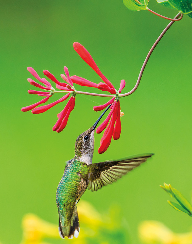 Ken Arni COVER APRIL 2020 Hummingbird   flower adj cmyk