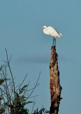 Nick Simone Great Egret