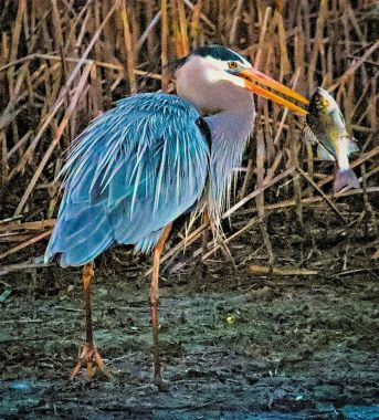 Charlie Jordan   Great Blue Heron with lunch