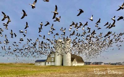 Elaine Orbino   Snow Geese Taking Flight