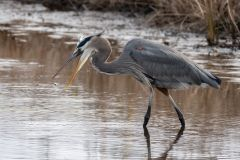 Joshua Walls   Hungry Heron at Prime Hook Wildlife Refuge