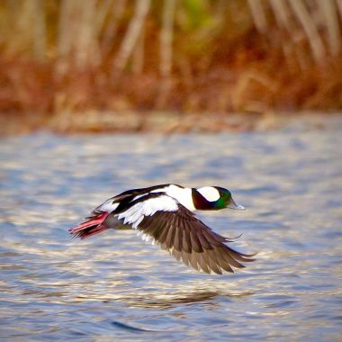 Nick Simone   Bufflehead
