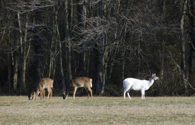 Red Moulinier   Piebald Dear at Cape Henlopen Park