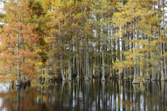Barb Moulinier   Trapp Pond Cypress in the Fall