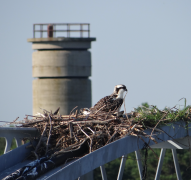barb Moulinier   Ospreys in Lewes