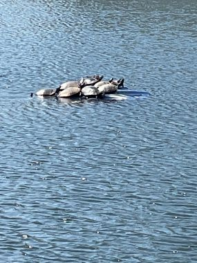 Laura Carlisle   Turtles  relaxing on inoperable fountain