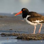 Photo_Contest_W1_Marta_Nammack_Oyster_catcher_on_the_prowl-8050-150-150-80-c Previous Photo Contest Winners - Delaware Beach Life