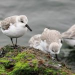 Photo_Contest_W2_Shannon_Modla_Sanderlings-8051-150-150-80-c Previous Photo Contest Winners - Delaware Beach Life