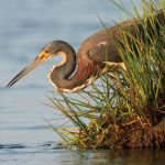 Photo_Contest_WHM1_Christopher_Rolph_Tricolored_Heron_Fishing-8053-150-150-80-c Previous Photo Contest Winners - Delaware Beach Life